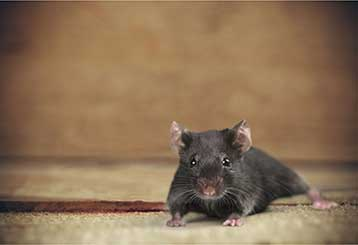 Rodent Proofing | Attic Cleaning Mill Valley, CA