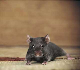 Rodent Proofing Service | Attic Cleaning Mill Valley, CA